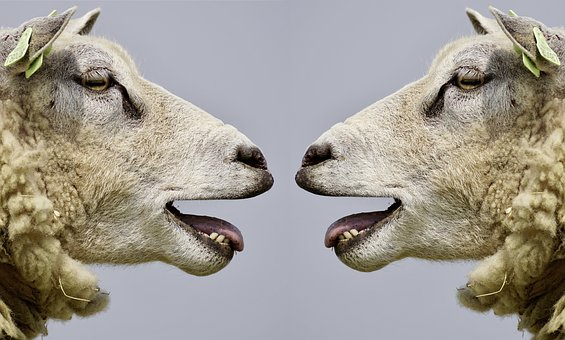 sheep-bleating photo from Pixabey