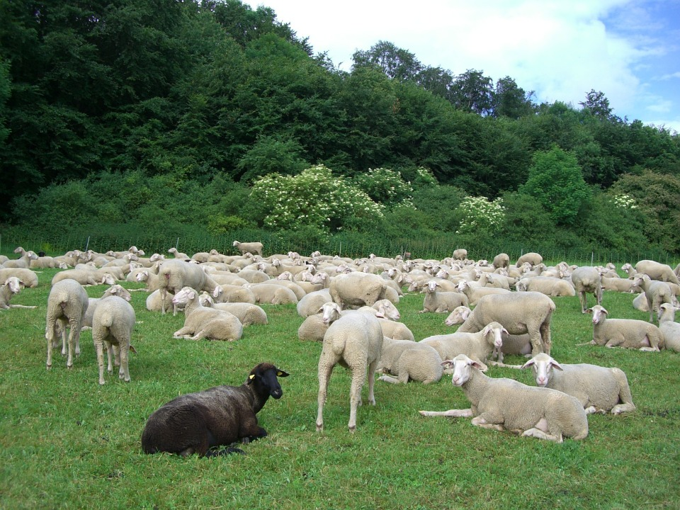 Sheep Difference-Between-Among-and-Amid-2 Photo by difference between.jpg