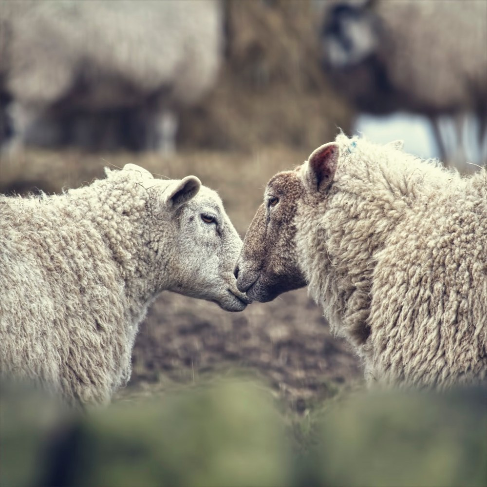 sheep sisiters photo from fiveprime.jpg