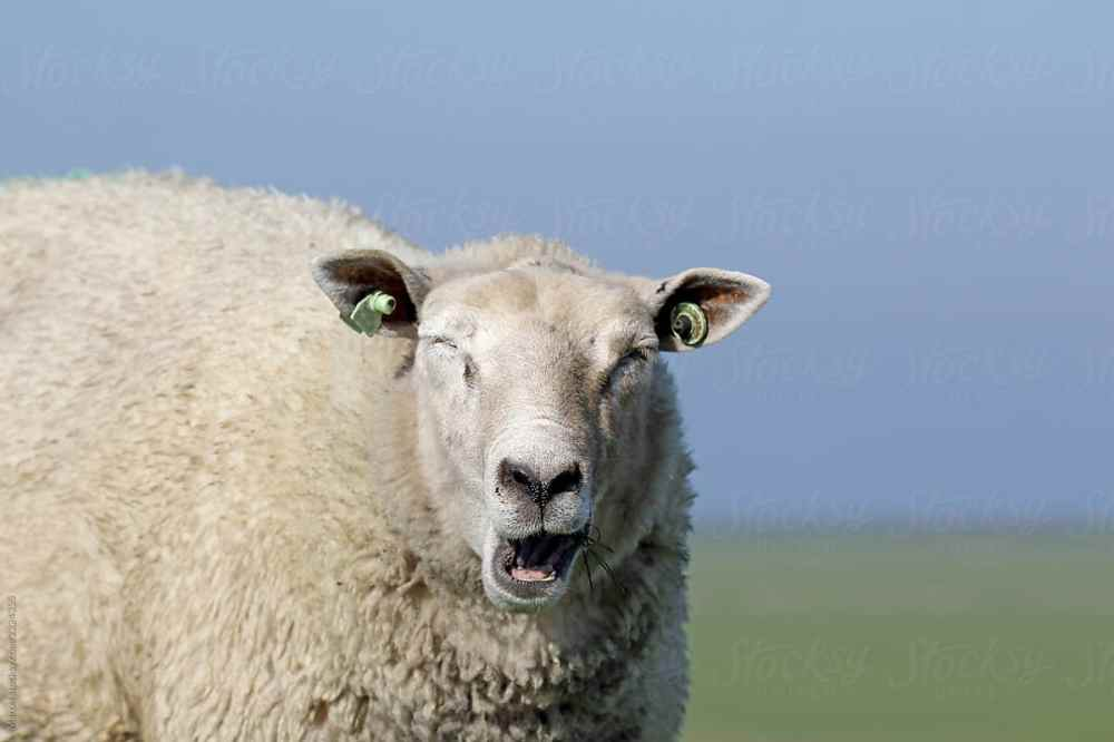 Sheep yawning photo from stocksy.com.jpg