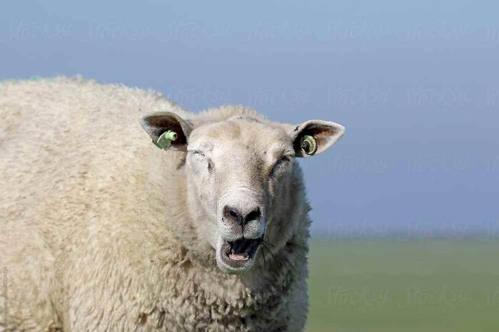 Sheep yawning photo from stocksy.com.jpg