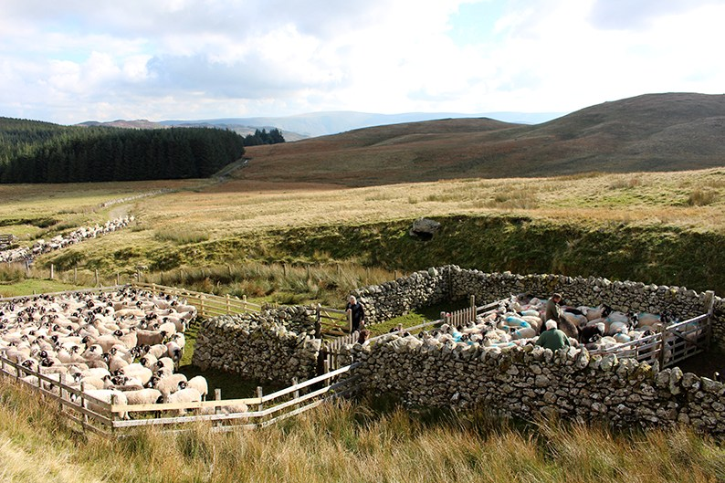 sorting-the-sheep in the sheepfold photo from toa.st