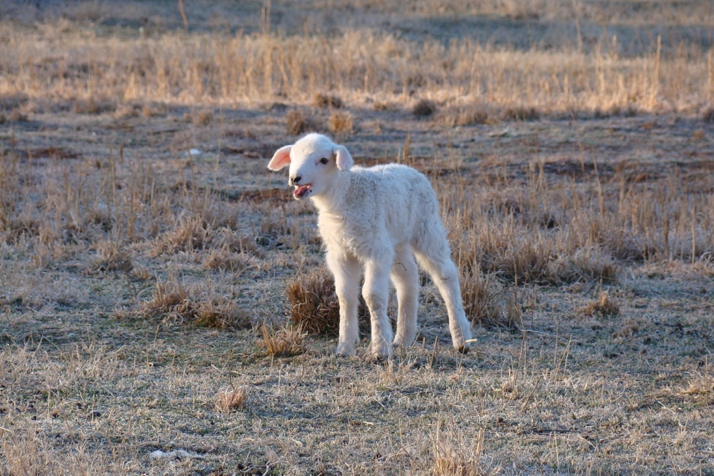 lost-lamb Photo from Stgeorgeministry.com.jpg