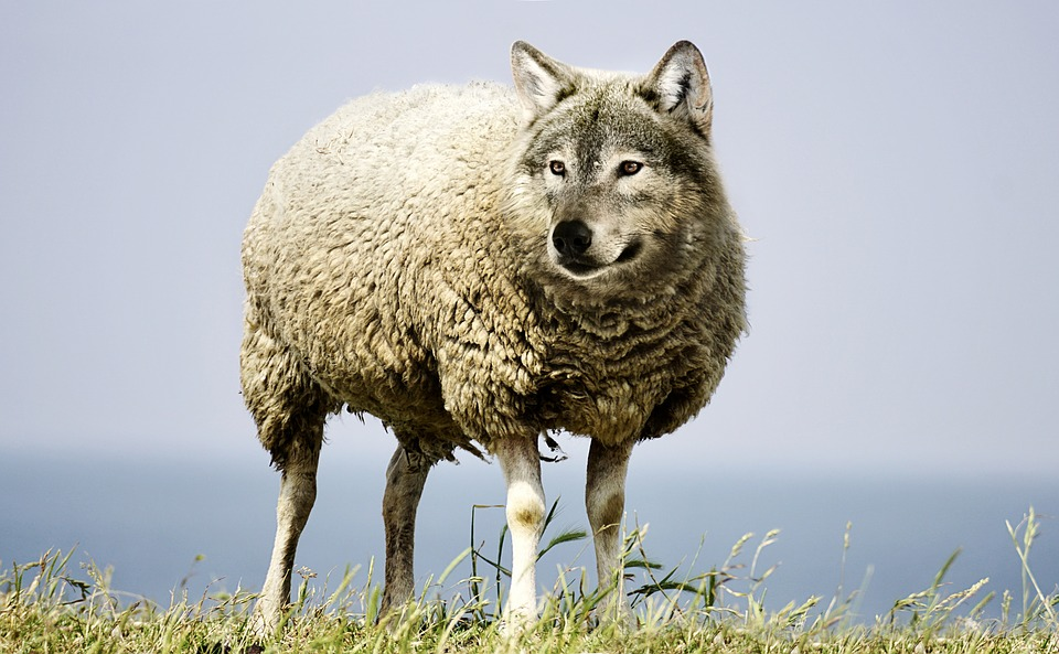 wolf-in-sheeps-clothing Photo on Pixabey
