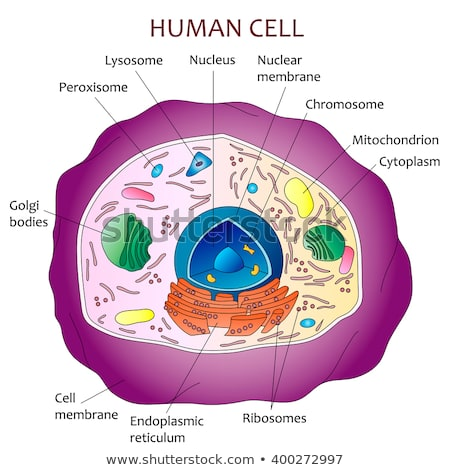 Human cell structure image from shutterstock
