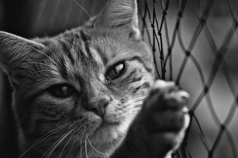 close up grayscale photo of cat leaning on chain link fence