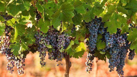 Vineyard 1 goteliviv.com